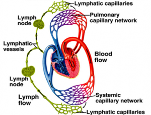 blood_lymph